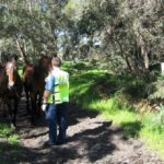 wann-horses-wandering-in-pinjar